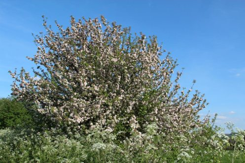 Spring blossom, Kennet and Avon Canal, near Pewsey Wharf