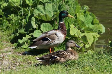 Ducks on bank of Kennet and Avon Canal