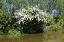 Hawthorn tree, beside Kennet and Avon Canal, Hungerford