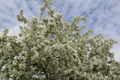 Crab apple blossom, River Thames, near Hampton Court Palace