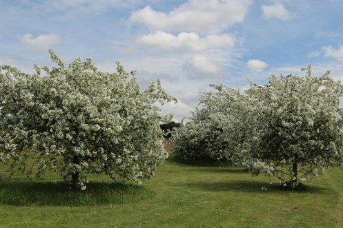 Crab apple trees, River Thames, near Hampton Court Palace