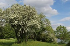 May blossom, River Thames, near Hampton Court Palace