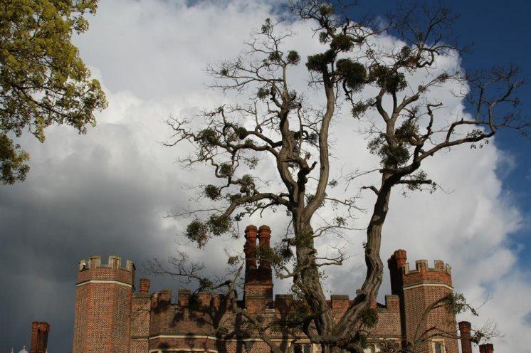 Mistletoe on tree, Hampton Court Palace