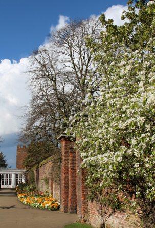 Spring blossom, Tiltyard walls, Hampton Court Palace