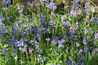 Bluebells, Valley Gardens, Virginia Water