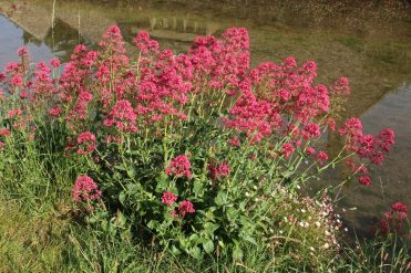 Red Valerian, bank of River Eye, Lower Slaughter