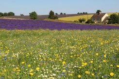 Lavender and wildflowers, Cotswold Lavender, Snowshill