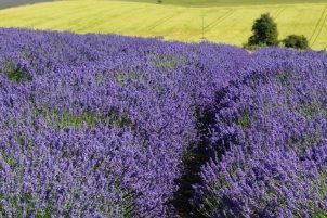 Lavender fields, Cotswold Lavender, Snowshill