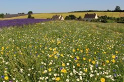 Wildflower meadow, Cotswold Lavender, Snowshill