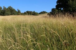 Late summer, Burford Spur, foot of Box Hill