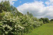 May blossom, Box Hill