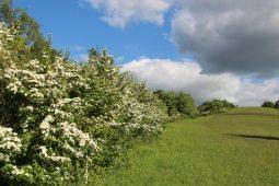 May blossom, Burford Spur, Box Hill