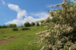May blossom, path up to Salomons Memorial and Viewpoint, Box Hill