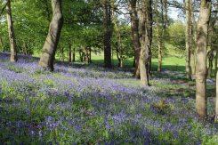 Bluebells, Wood Hill, Painshill Park, Cobham