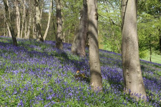 Bluebells, Wood Hill, Painshill Park, Cobham