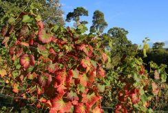Grapevine, the Vineyard, Painshill Park, Cobham