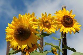 Sunflowers, from Waggon Yard Car Park, Farnham