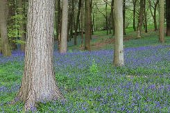 Bluebells, Polesden Lacey Estate, Great Bookham