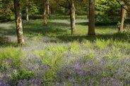 Bluebells, Winkworth Arboretum