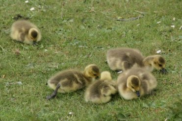 Canada geese goslings, Central Forest Park, Hanley, Stoke-on-Trent