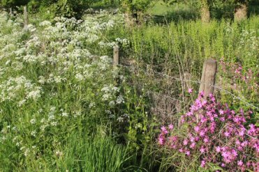 Cow Parsley and Red Campion, near Westmill