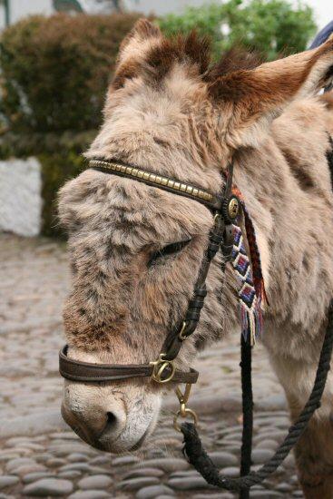 Donkey, Clovelly