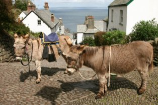 Donkeys, Clovelly