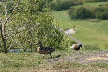 Ducks on viewpoint of reclaimed coal slag heap, Central Forest Park, Hanley, Stoke-on-Trent