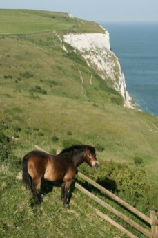 Exmoor Pony, Langdon Cliffs, White Cliffs of Dover