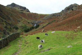 Herdwick sheep below Pike of Stickle and Harrison Stickle, Great Langdale