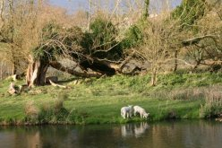 Lambs, by River Avon, Amesbury