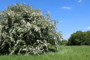 May tree, Dumsey Meadow, Chertsey