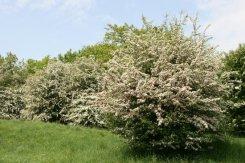 May trees, near Much Wenlock, Wenlock Edge
