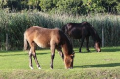 Ponies, Beaulieu, New Forest