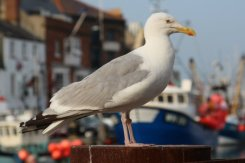 Seagull, Weymouth Harbour, Weymouth