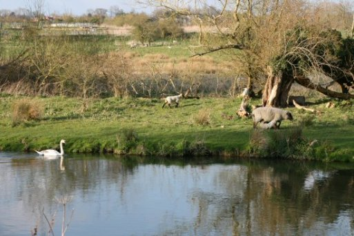 Sheep, by River Avon, Amesbury