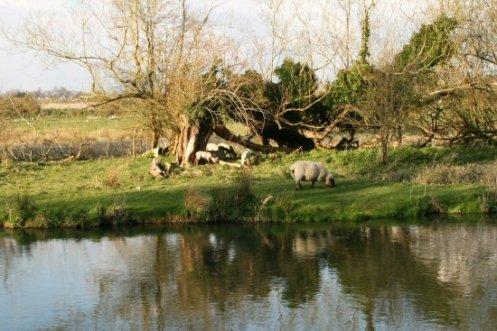 Sheep, by River Avon, Amesbury