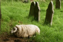 Sheep grazing, All Saints Churchyard, North Cerney