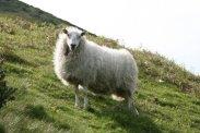 Sheep, on The Long Mynd