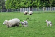 Spring lambs, Polesden Lacey, Great Bookham
