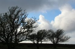 Windswept trees, Porlock Hill, Exmoor