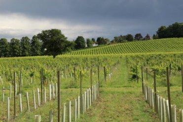 Vineyard, Denbies Wine Estate, Dorking. Women's Olympic Road Cycling Road Race, 2012