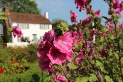Lavatera, Village Green, Biddenden