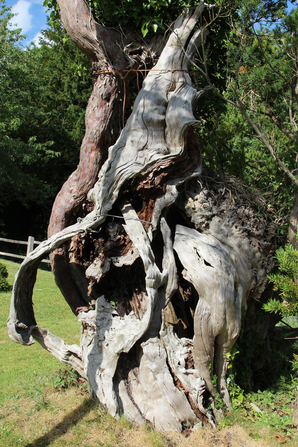 Remains of the 1,000 year old yew tree, St. Mary's Churchyard, Aldworth