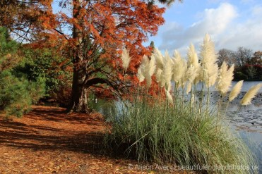 Bald Cyprus tree (Taxodium distichum) and Pampas Grass, Ten Foot Pond, Sheffield Park Garden