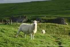 Sheep on Winnats Head Farm, above Winnats Pass, Castleton, High Peak