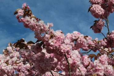 Cherry blossom, East Hagbourne