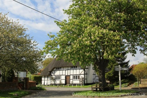 Horse Chestnut tree, The Square, West Hagbourne