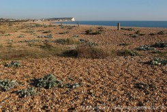 Sea Kale, Tide Mills Beach, between Newhaven and Seaford