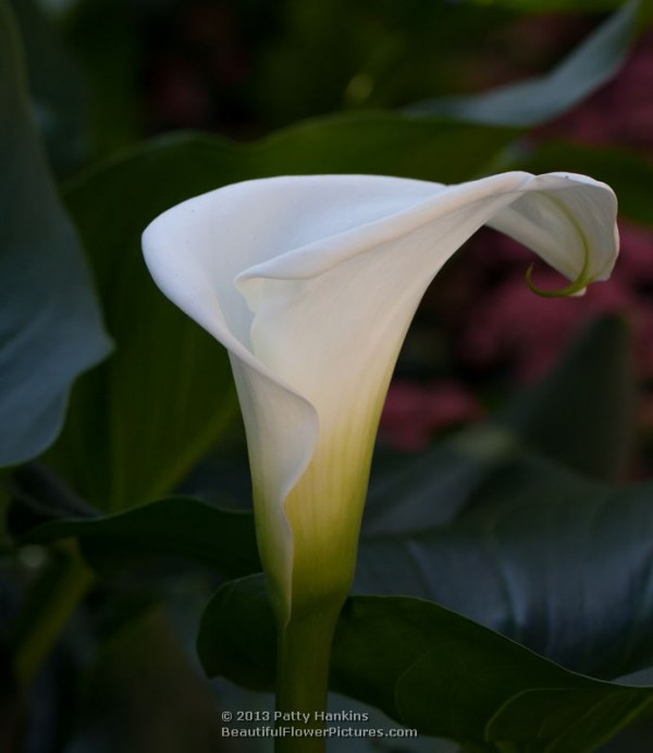 White Calla Lilies  Beautiful Flower Pictures Blog
